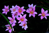 I snapped this photo today of some Rain Lilies. They are from bulbs and come up each year.   They are in one of our flower beds at the back porch and are very noticeable. Love, CK  7-11-2009